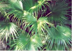 Palm fans