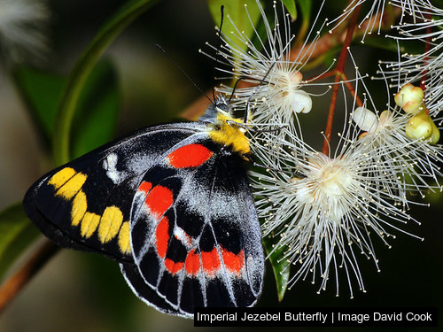 Imperial Jezebel Butterfly
