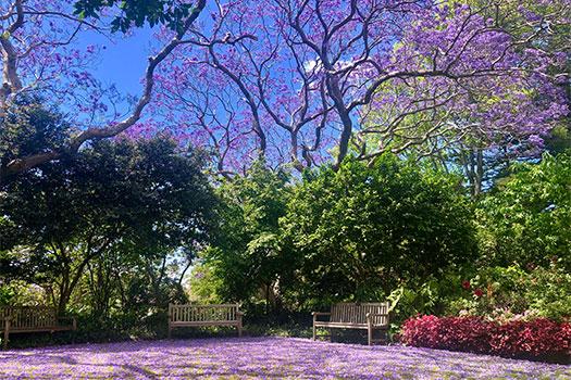 Jacarandas near St Mark's Church and Preschool in Darling Point