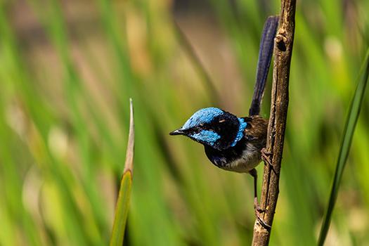 A blue fairy wren