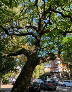 Candlenut Tree Ocean Avenue